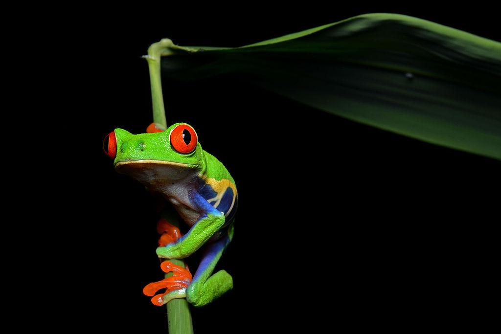 Red-eyed_Tree_Frog_(Agalychnis_callidryas)_3[1]